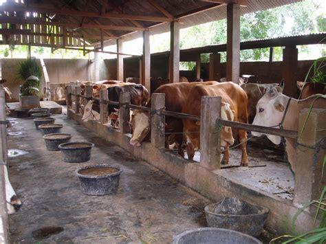 peternakan sapi segoroyoso