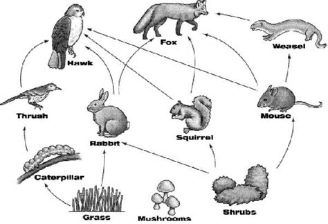 easy food web to draw organism research worksheet search lesson
