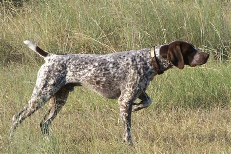 german shorthaired pointer puppies mn german shorthaired pointer breeders in the united states puppiessiggy s paradise