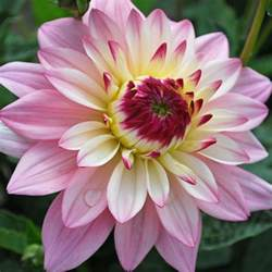 Flower Delivery Service Dahlia Gallery Salvador Rose Cottage Plants