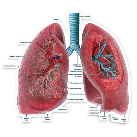 cross section of lung bodypartchart lungs cross section labeled