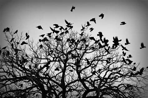A Murder Of Crows crows gregfallis