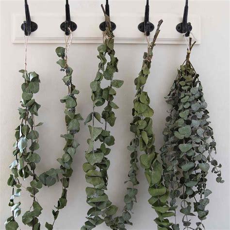 plants    eucalyptus miguel barcelo