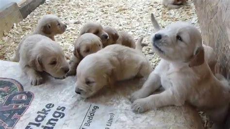 golden retriever 3 weeks golden retriever puppies barking 3 weeks