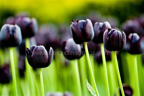 Gamis Tulip Black black tulip beautifully pictured on digital photo club