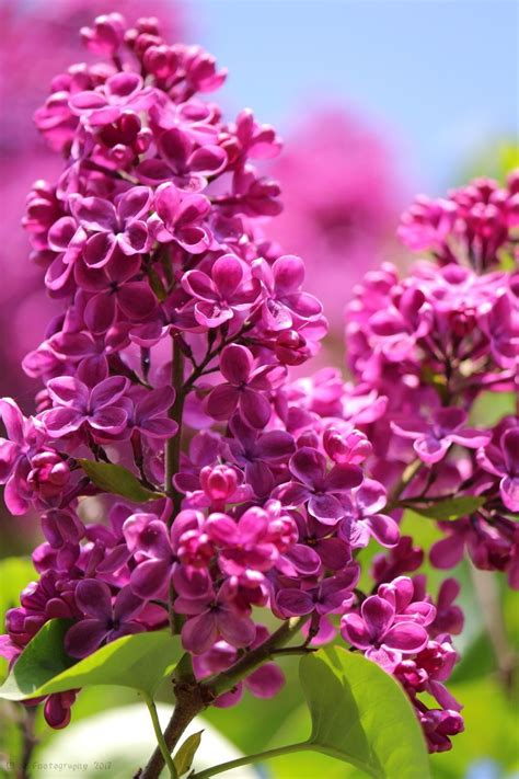 fiori di lilla i bellissimi fiori di lill 224 flowers