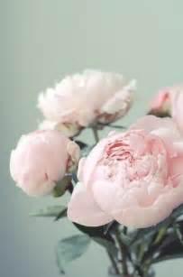 peonies colors blush peonies flowers flowers