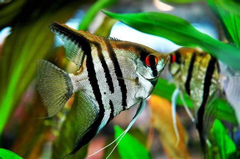 Makanan Ikan Hias Layang Layang gambar foto jenis macam nama ikan hias air tawar