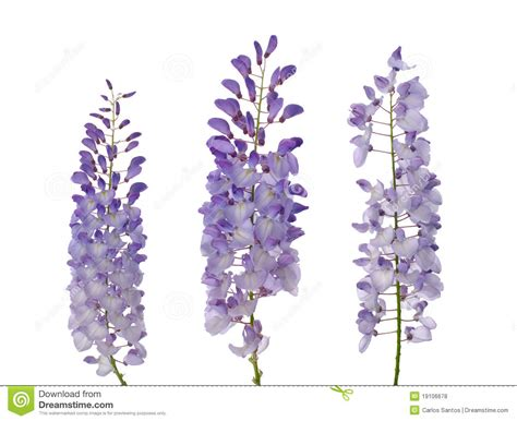 copy right free pictures of purple wisteria wisteria flowers royalty free stock photos image 19106678