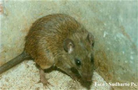 Bibit Cabai Tm 99 tikus yang sering di jumpai di kebun sawit dunia kebun