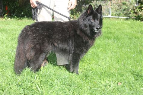 belgian shepherd puppies belgian shepherd for adoption truro cornwall pets4homes