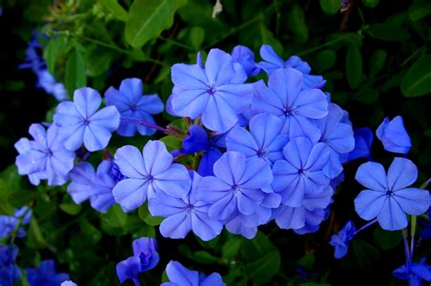 pretty blue flower names www imgkid com the image kid has it