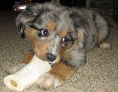 aussie corgi mix puppies for sale best 25 beagle shepherd mix ideas on corgi mix breeds corgi shepherd mix