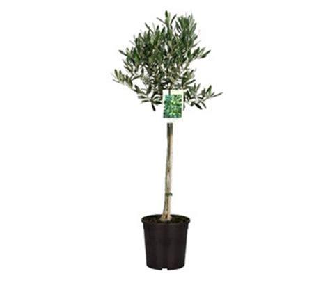 ulivo in vaso prezzo pianta di olivo alberello in vaso 248 22 in vendita su coltivia