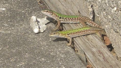 what do lizards eat and drink in backyards what do lizards eat and drink in backyards 28 images