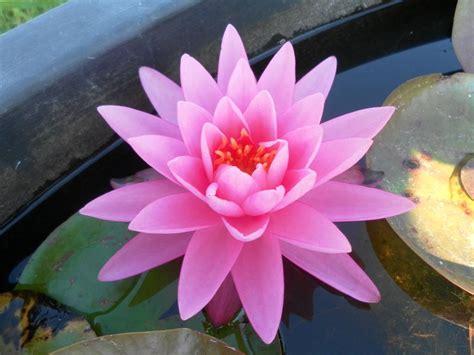 fiore rosa ninfee barbagli fiore rosa