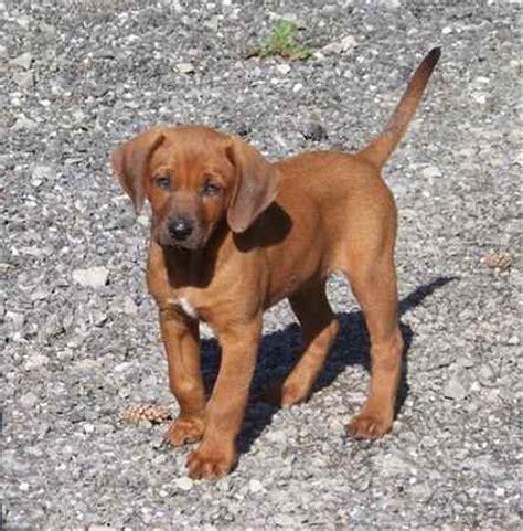 redbone coonhound golden retriever mix redbone retriever redbone retrievers golden retriever x labrador retriever x