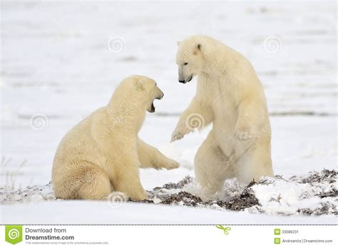 two polar bears in a bathtub polar bear stock image image 33086231