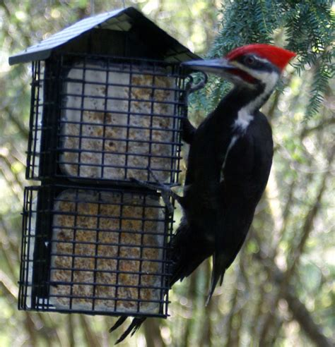 pileated woodpecker suet feeder plans woodworking