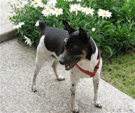 Do Rat Terriers Shed A Lot by Rat Terrier