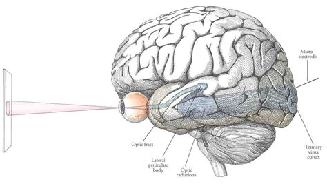 visual cortex diagram visual pathways