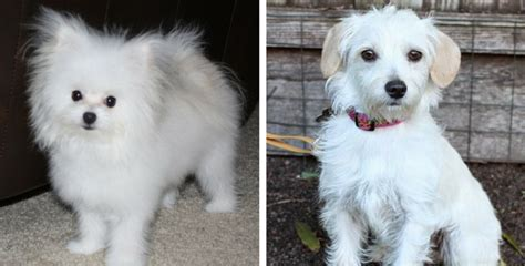 Best Mug by 13 Gorgeous Maltese Mixes And Their Ludicrous Names