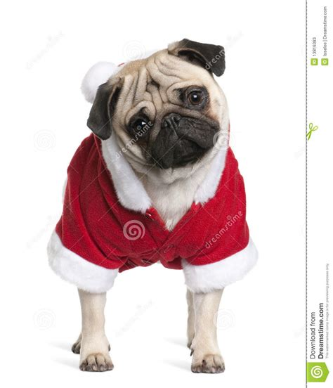 santa pug pug in santa coat 1 year stock photos image 13816383