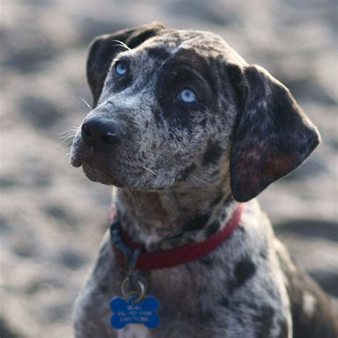 catahoula cur catahoula cur breed guide learn about the catahoula cur