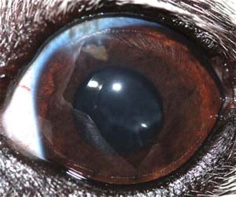 cataract surgery for dogs cataracts in diabetic dogs