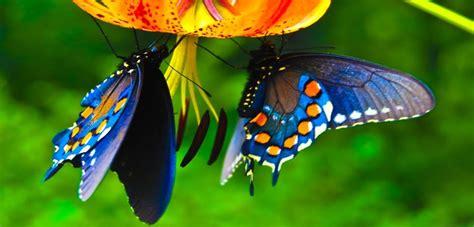 foto farfalle e fiori e astute ecco perch 233 le farfalle sono cos 236 colorate