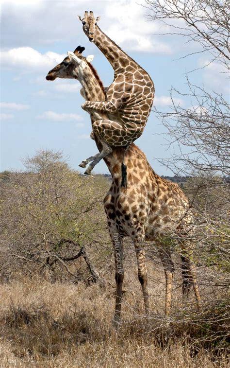How giraffes do things
