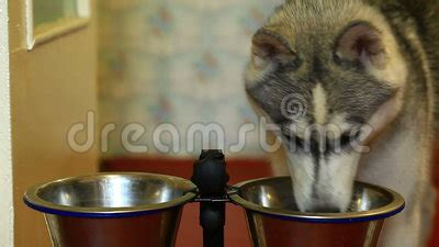 dog eating food from chrome bowl stock photo getty images dog eating food from a bowl stock video video 71308819