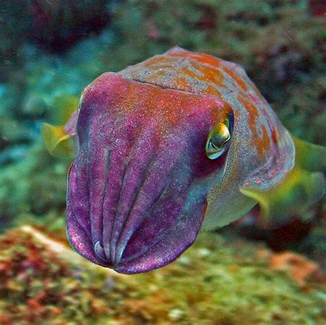 cuttlefish changing color youth wednesday ode to cuttlefish