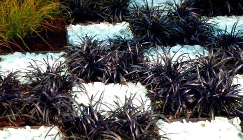 Tanaman Hias Rumput Hitam tanaman rumput hitam black mondo grass bibitbunga