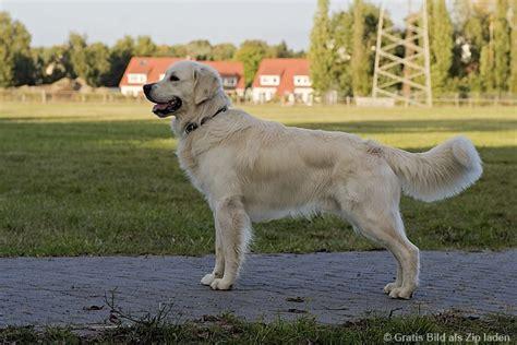 hund golden retriever golden retriever ein sch 246 ner hund