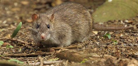 new year 2016 and rat new research reveals migration patterns of brown rats