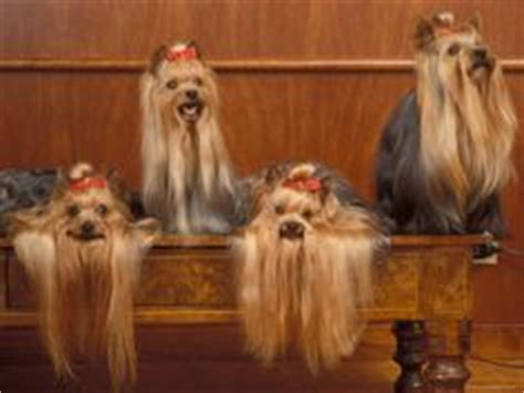 all about yorkies for dummies yorkie haircuts on yorkie grooming tips and terrier