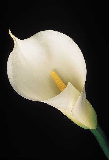 Jack In Pulpit Vase White Calla Lily Amy Lamb Studio Llc