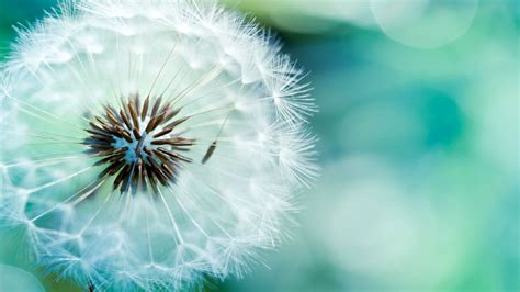 background full hd dandelion full hd background picture image