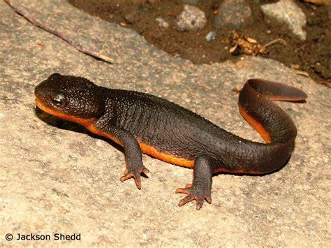 oregon salamander  newt gallery