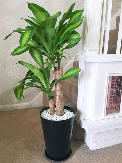 1 x large house plant in gloss black tubus pot evergreen