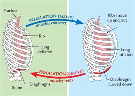 inhalation diagram g09respirationr3a 6 respiratory system efficiency
