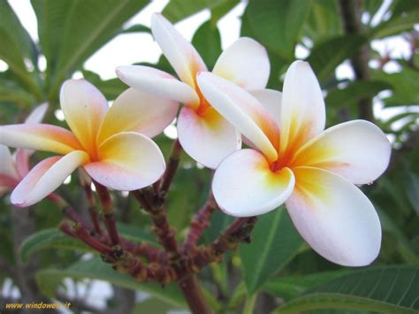 immagini fiori desktop immagini fiori gratis per sfondi desktop