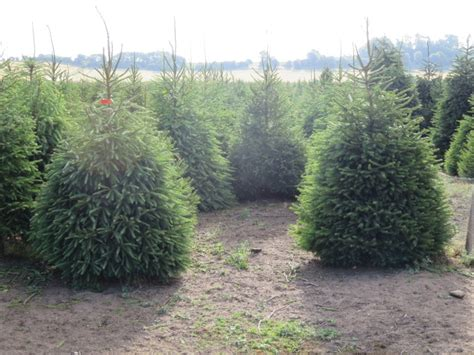 pricing fillingham christmas trees