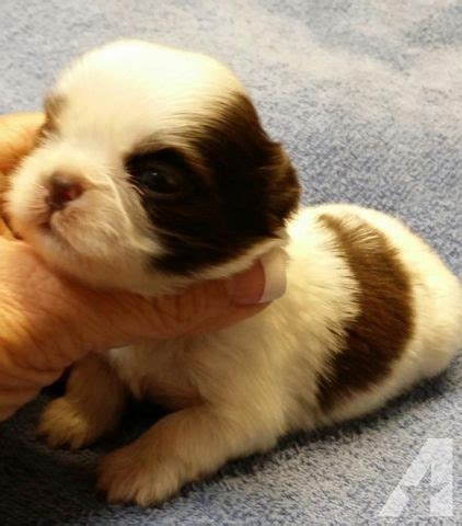 shih tzu puppies for sale in tx shih tzu puppies for sale in lakehills classified americanlisted