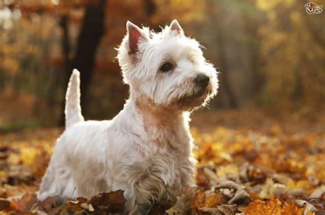 get westies hair white how to keep your westies coat looking great pets4homes