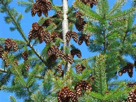 Pine Cone Tree by Quot Pine Cones Art Prints Pine Trees Forest Blue Skies Quot By