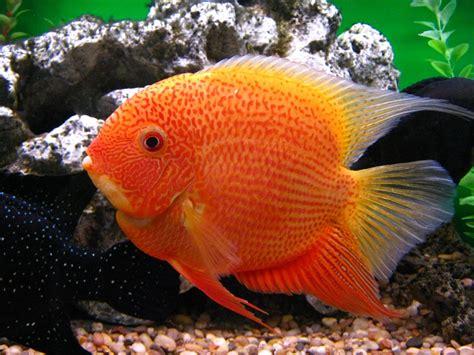 breeding red severum cichlid breeding red severum cichlid newhairstylesformen2014 com