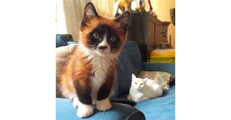 fox hybrid this cat fox panda hybrid 25 glorious cats that make the a better place