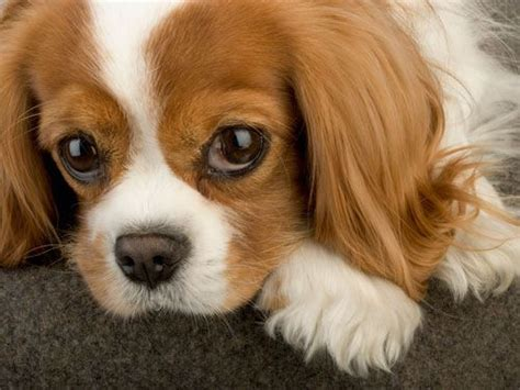 best puppies for families the best designer breed for your family